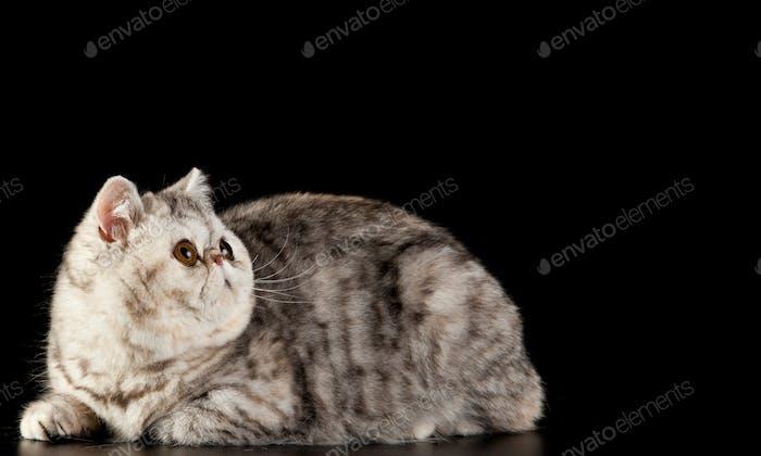 Exotische Kurzhaar Katze. Exotische Hauskatze auf schwarzem Hintergrund.