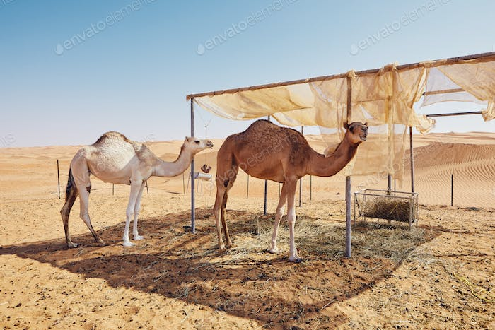 Camels in bedouin camp