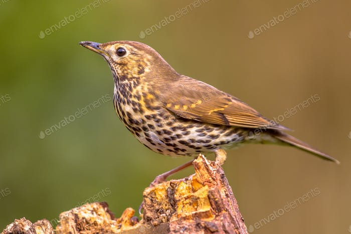 Song Thrush perched on log