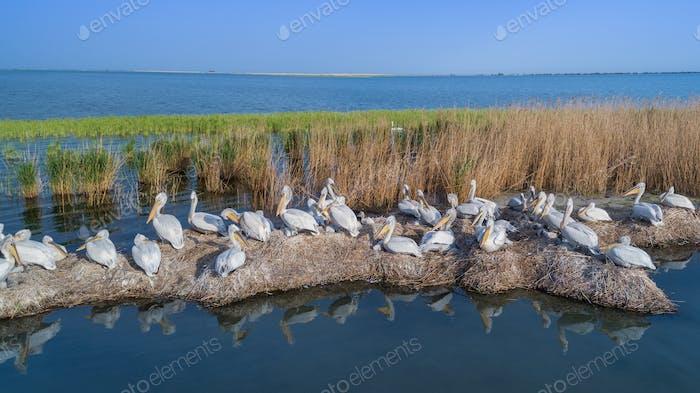dalmatian pelicans (pelecanus crispus) in Danube Delta Romania