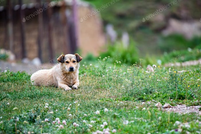 Cute beige dog rests on grass outdoors