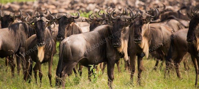 wildbeest migration betwen Serengeti and Maasai Mara national pa