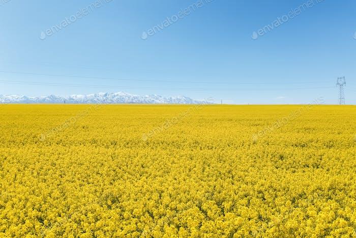 Rapsblumenfeld und Schneeberg vor sonnigem Himmel