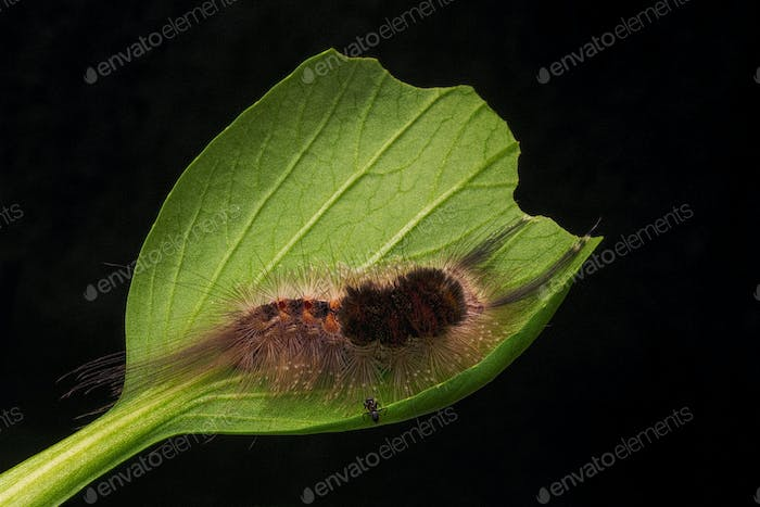 Caterpillar on a Leave with Black Background