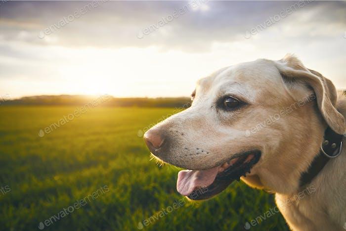 Glücklicher Hund bei Sonnenuntergang