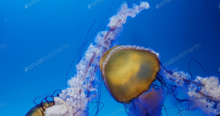 Jelly fish swim in water tank