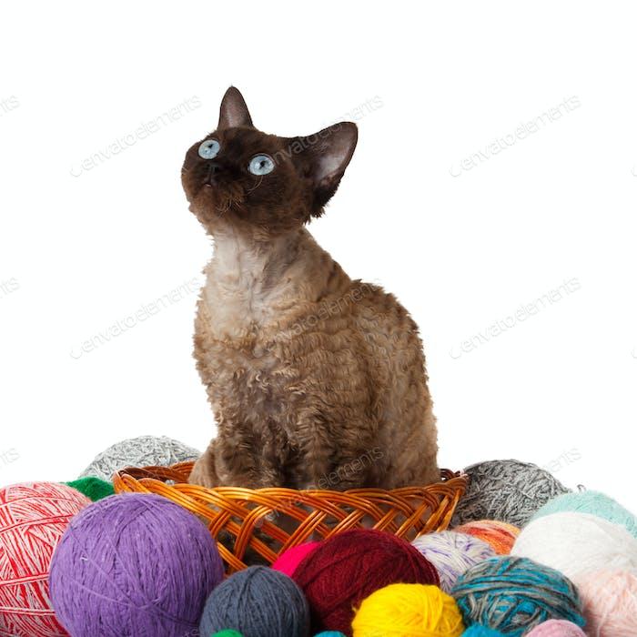 Cat Devon Rex on white background. kitten with balls of threads