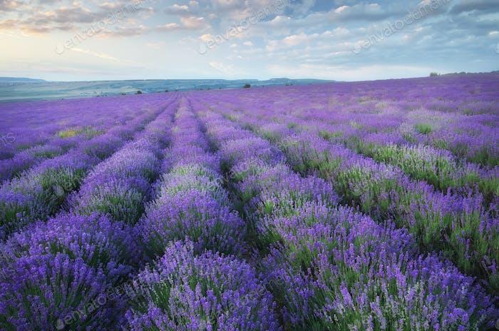 Lavender beautiful meadow.