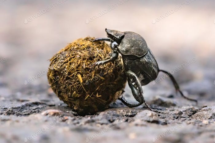 Dung beetle struggling