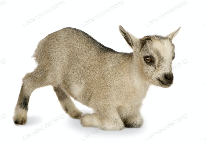 Young Pygmy goat