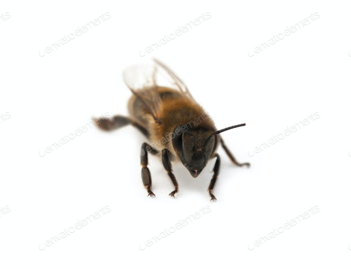 bee isolated