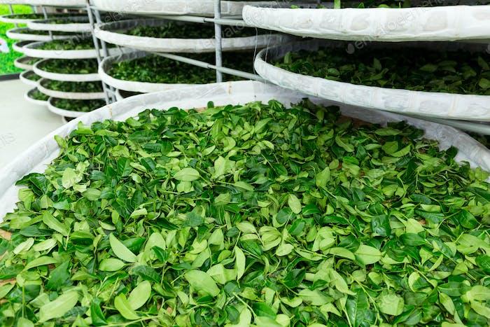 Fermentación del té