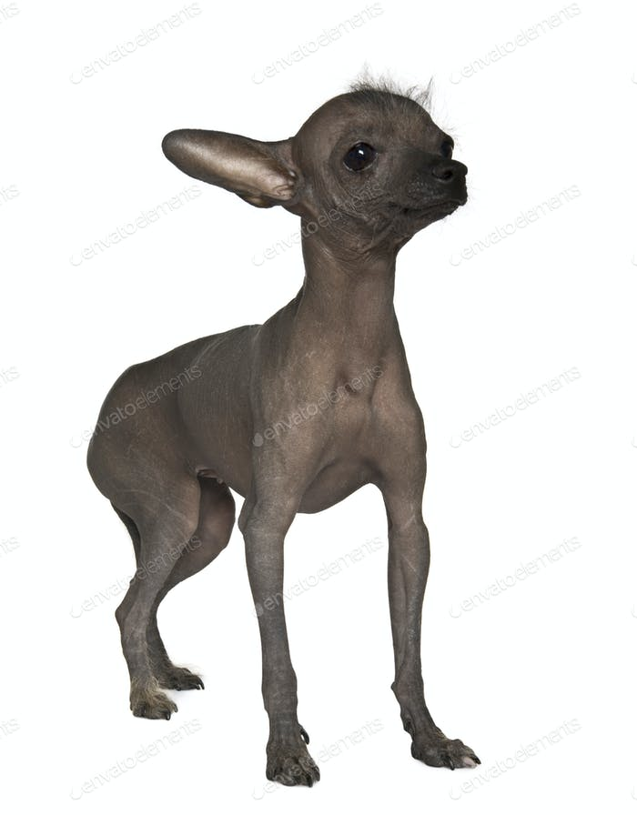Chinese hairless dog, 7 months old, standing on table in front of white background