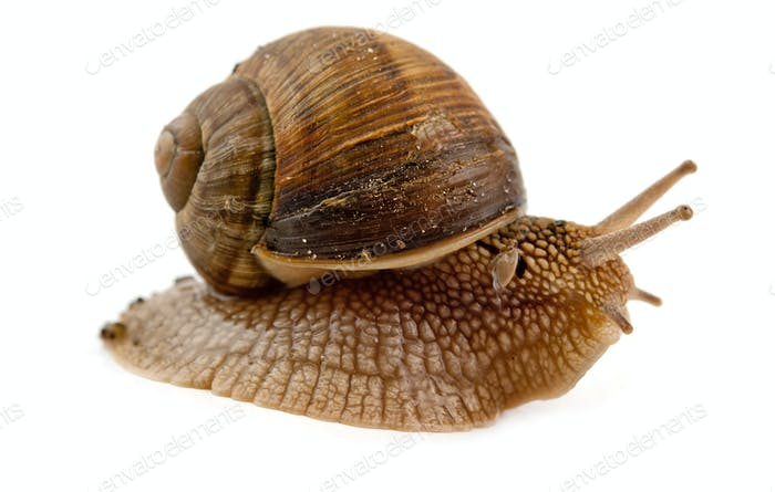 grawling snail isolated