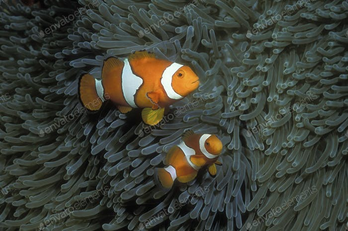 Pair of Clownfish underwater swimming by the grey fronds of a sea anenome.