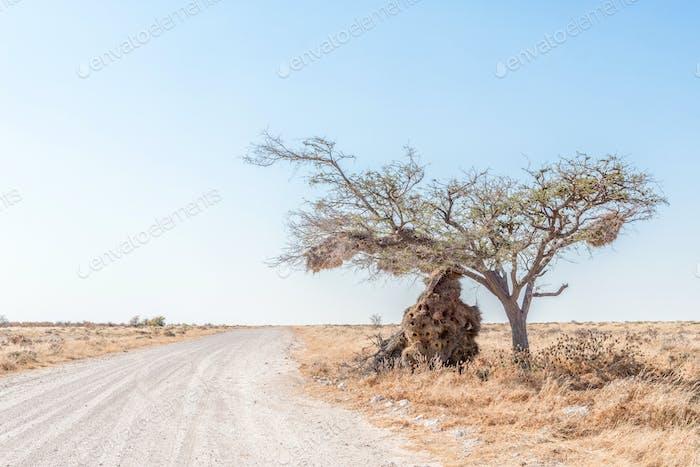 Nest of sociable weaver broke the branch of the tree