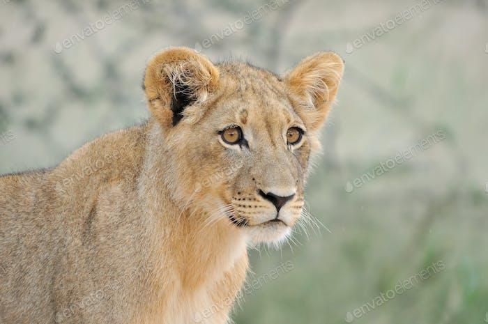 Lion cub in the Kalahari 2