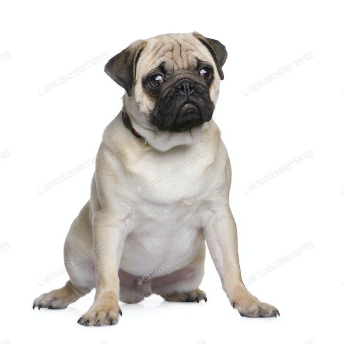 pug puppy (6 months)