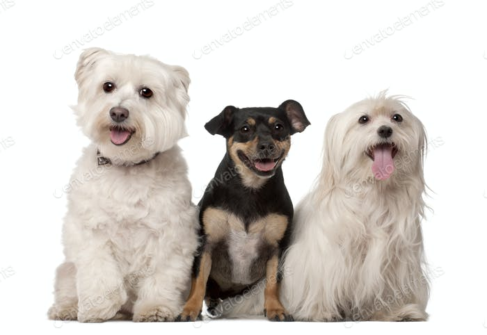 Maltese dogs, 9 years old and mixed-breed, 2 years old, sitting against white background