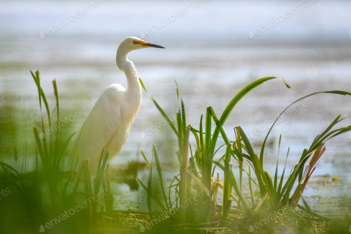 White heron, Great Egret. Water bird in the nature habitat. Wildlife scene