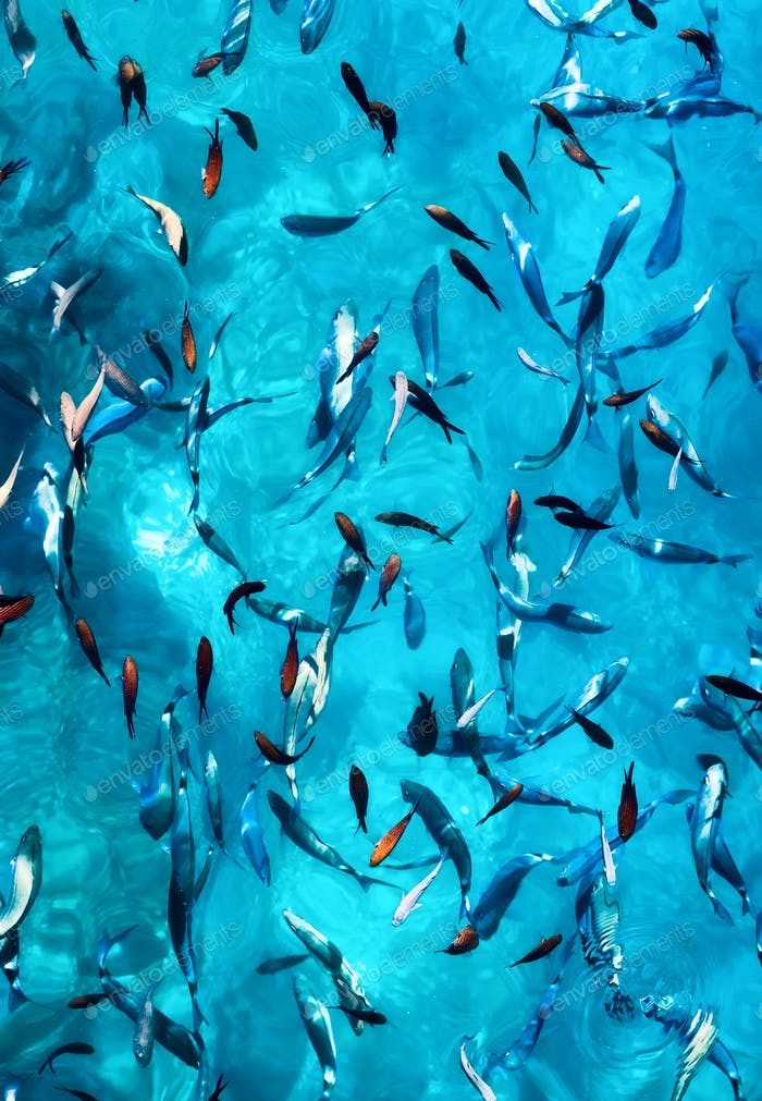 Fishes under water as a background. Blue transparent  water with school of fish.