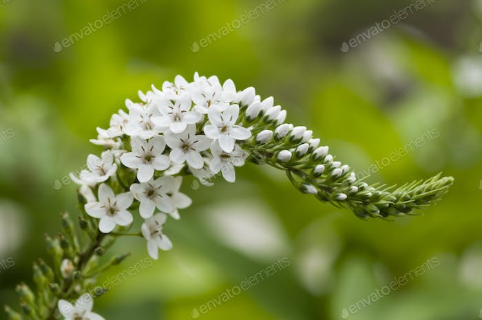 Spike of white flowers