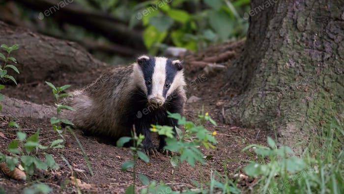 European badger standing in forest in summer evening
