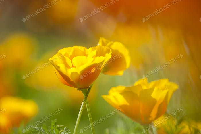 Eschscholzia californica, yellow and orange poppy wild flowers.