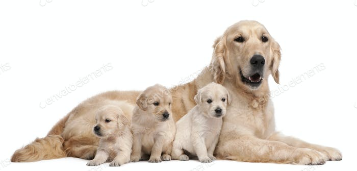 Golden Retriever mother, 5 years old, and her puppies, 4 weeks old, in front of white background