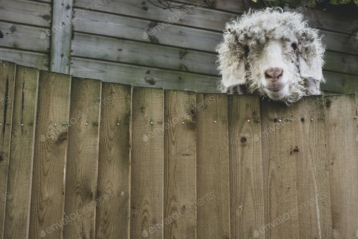 Close up of sheep looking at camera over wooden fence.