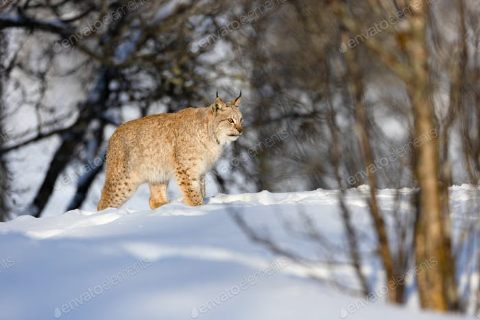 Eurasian lynx on snow during sunny day