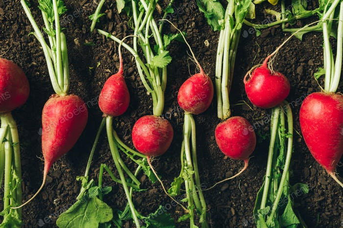 Red garden radishes on ground after harvest