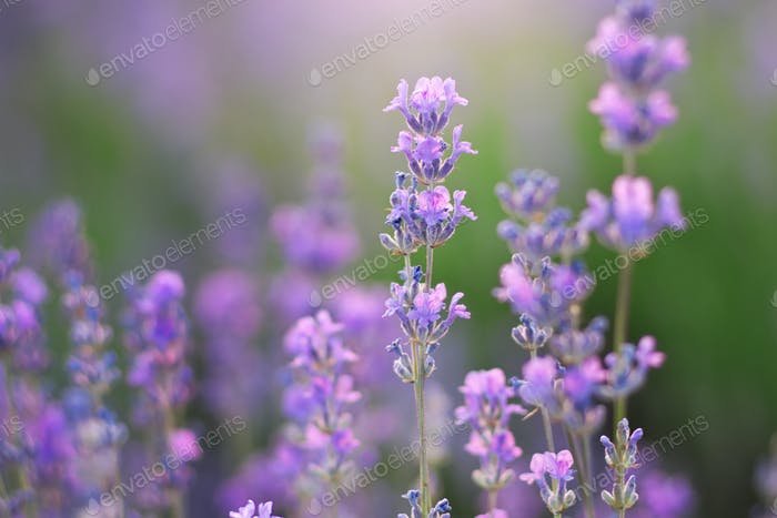 Lavendel Nahaufnahme Blume