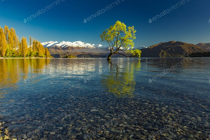 The Lonely tree of Lake Wanaka and snowy Buchanan Peaks, South I