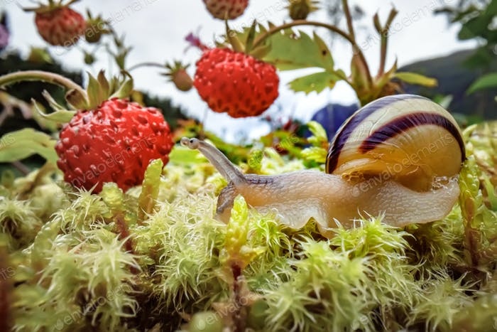 Snail close-up, looking at the red strawberries