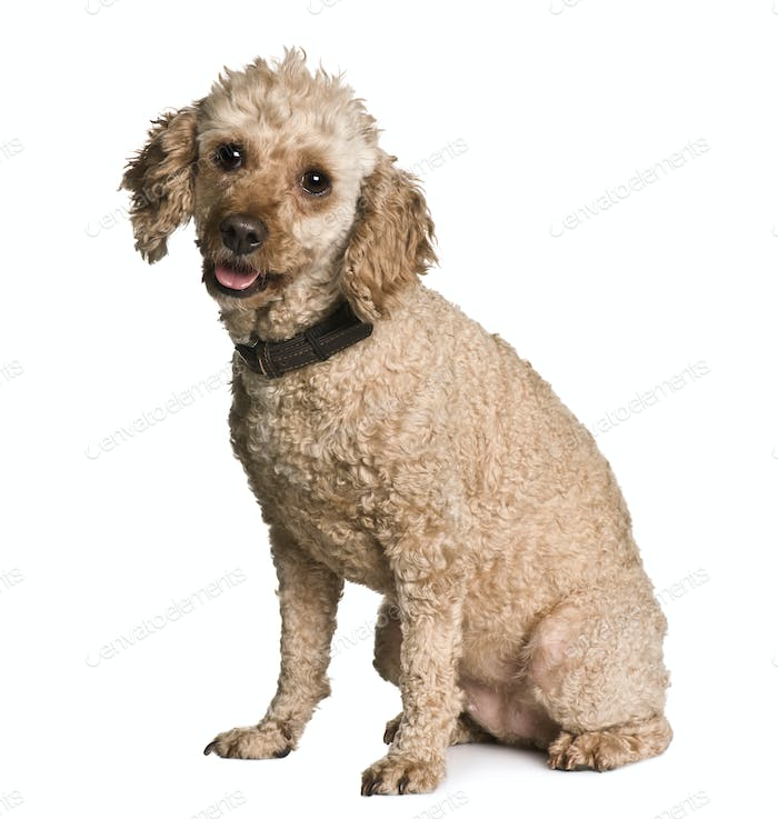 Apricot poodle, 7 years old, sitting in front of white background
