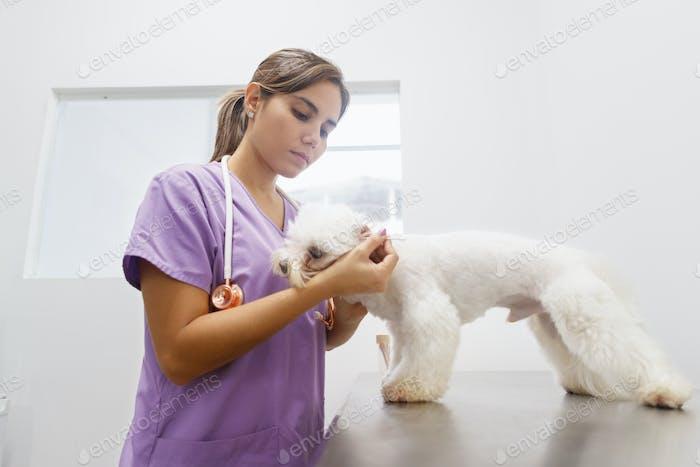 Médico Limpieza Perro Oreja En Clínica Para Profesión Veterinaria