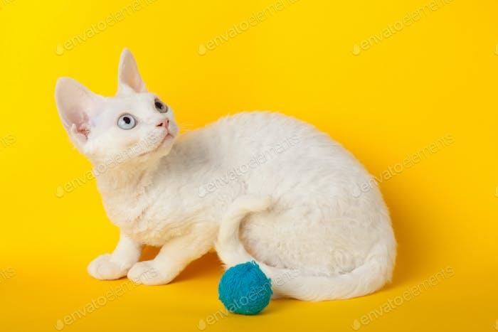 Devon Rex cat on yellow background