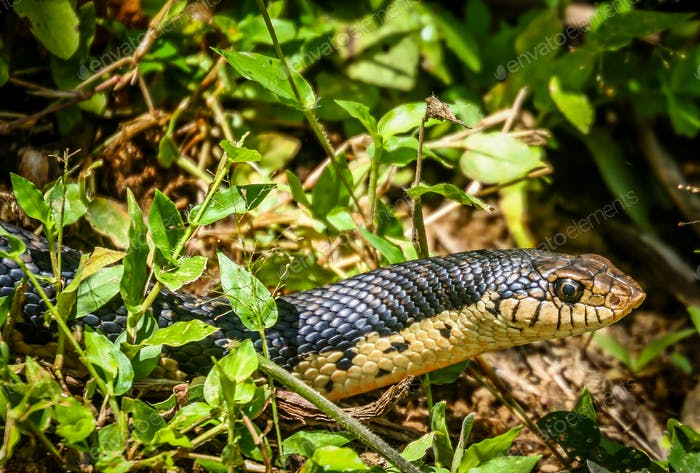 Black snake in Madagascar jungle