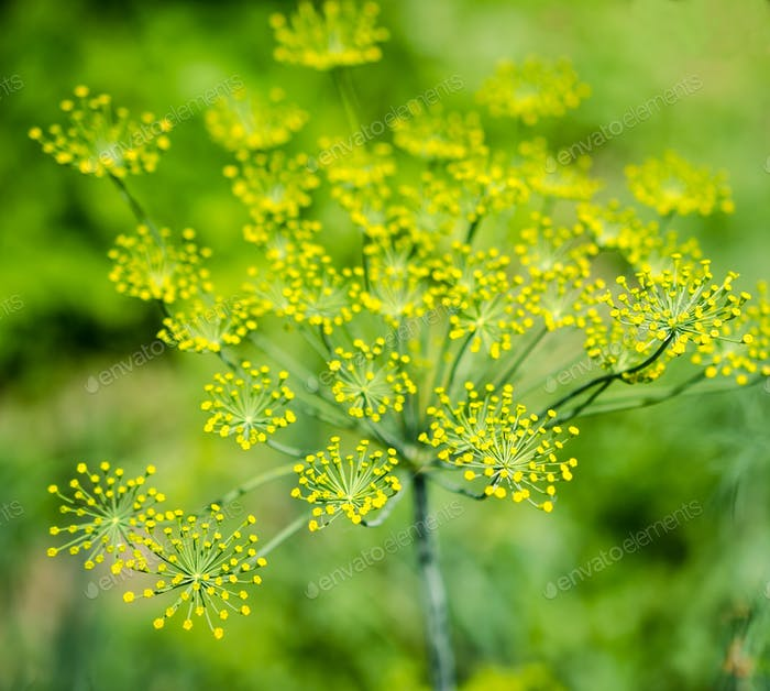 Dill (Fennel) flower