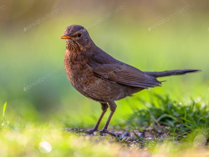 Female blackbird green background
