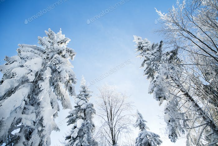 Low angle view of treetops of snow-covered coniferous trees in forest in winter
