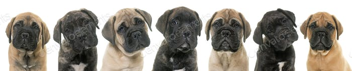puppies bull mastiff
