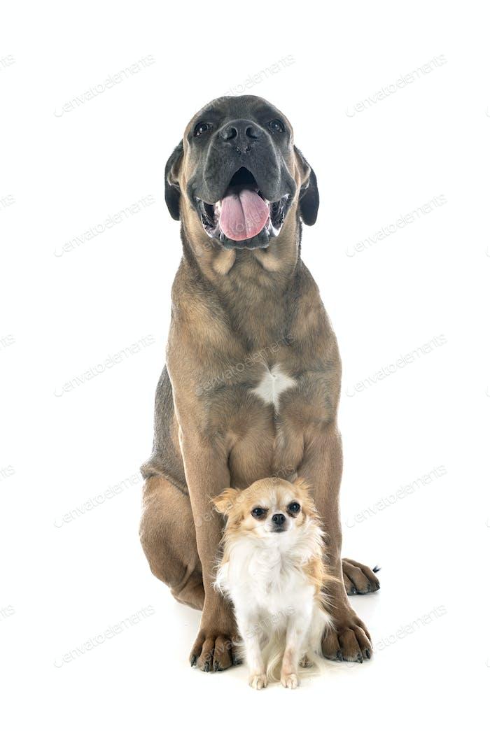 puppy cane corso and chihuahua