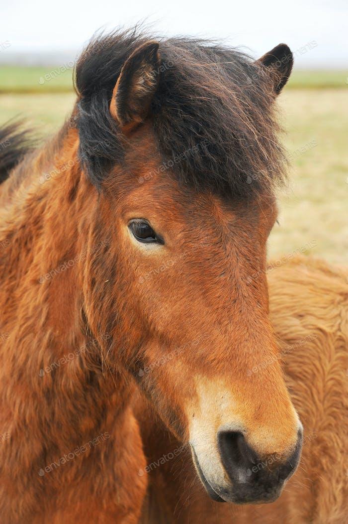 Island Pferde Pony