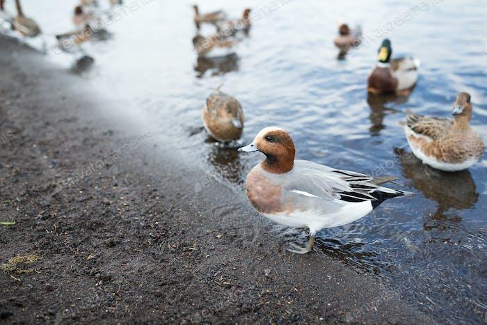 Wild duck at lake