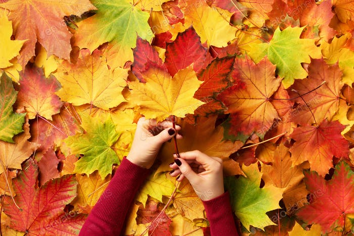 Bright autumn background. Sunny day, warm weather. Bunch of colorful maple leaves in female hands