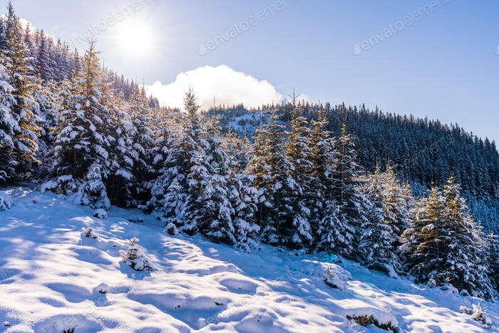 Carpathian mountains and hills with snow-white snow drifts and evergreen trees illuminated by the