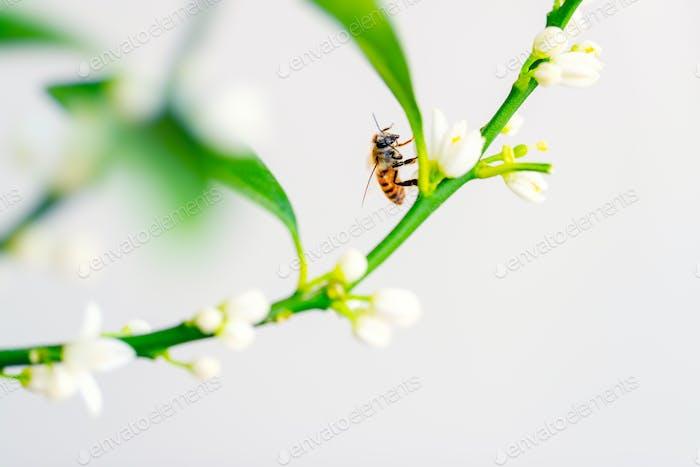Honigbiene auf der Blume