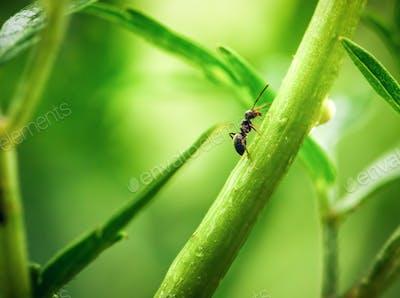 Ant walking on green plant stem